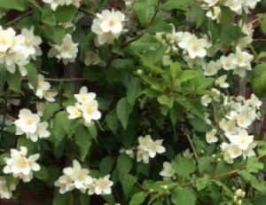 jasmineflowers